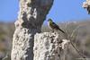 Green Towhee, Mono Lake, California