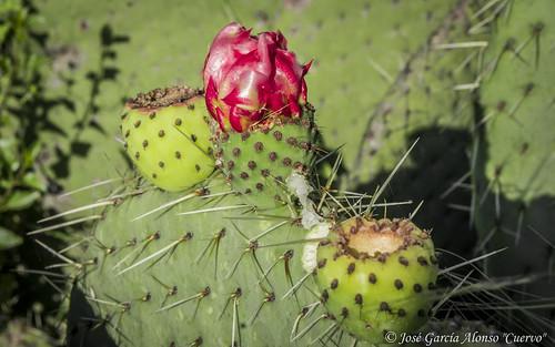 plants méxico cacti desert opuntia hidalgo nopal pachuca cactaceas nopla crasulaceas