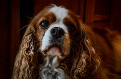 dog breed, animal, dog, pet, king charles spaniel, english cocker spaniel, spaniel, cavalier king charles spaniel, carnivoran,