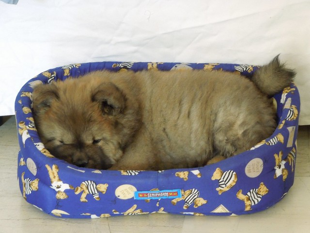 Sherlock our Chow Chow puppy