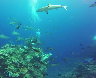 Shark Feed Frenzy Dive, Mike Ball Dive Expeditions, Great Barrier Reef & Coral Sea, Australia