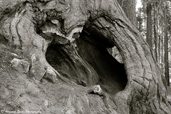 """""""Eroding Its Roots"""" (B&W) - Sequoia National Park"""