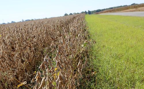 9-24 Soybeans-Lonoke3