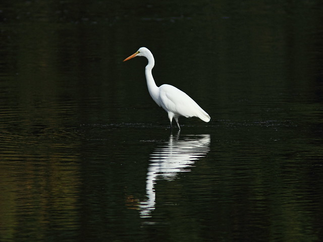 Great Egret 20140924