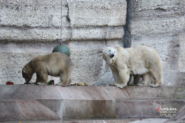 Eisbären Giovanna & Nobby 2014_09_24 013