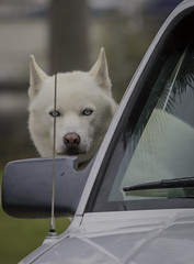 White Dog Looking Out Car Window