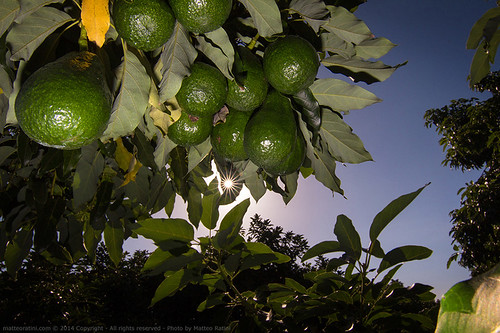 Avocados plantations