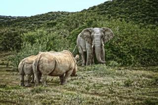 elephant and rhinos squaring up