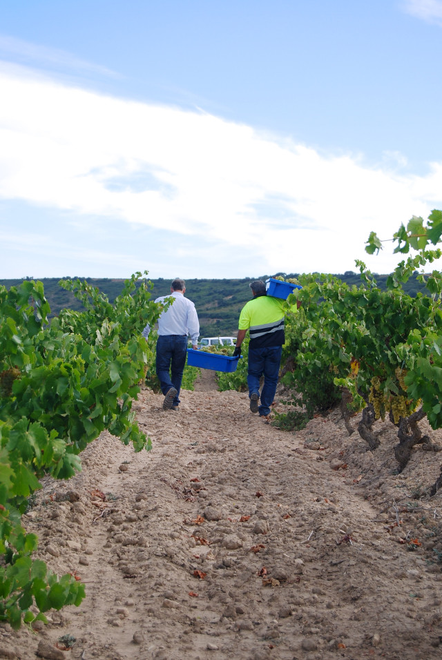 Grape Harvest at Campo Viejo's Vineyard, Rioja