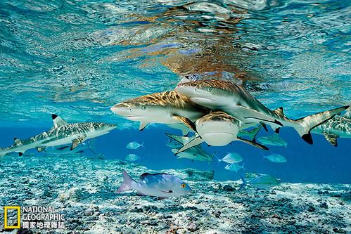 烏翅真鯊、藍鰭鰺、白斑笛鯛(圖中前方)擠在通往千禧島潟湖的一條淺淺的水道內,隨時虎視眈眈,等待著食物上門。這類頂級捕食者的存在,是世界最健康的珊瑚礁共同的重要特徵。攝影:Brian Skerry;圖片提供:《國家地理》雜誌中文版2014年9月號