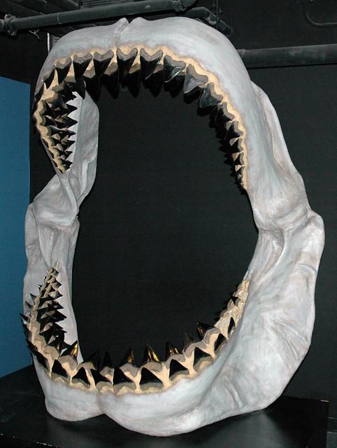 Carcharodon megalodon fossil shark jaw (reconstruction) (u ...