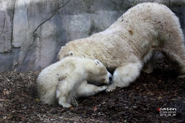 Eisbären Giovanna & Nela 2014_09_24 403