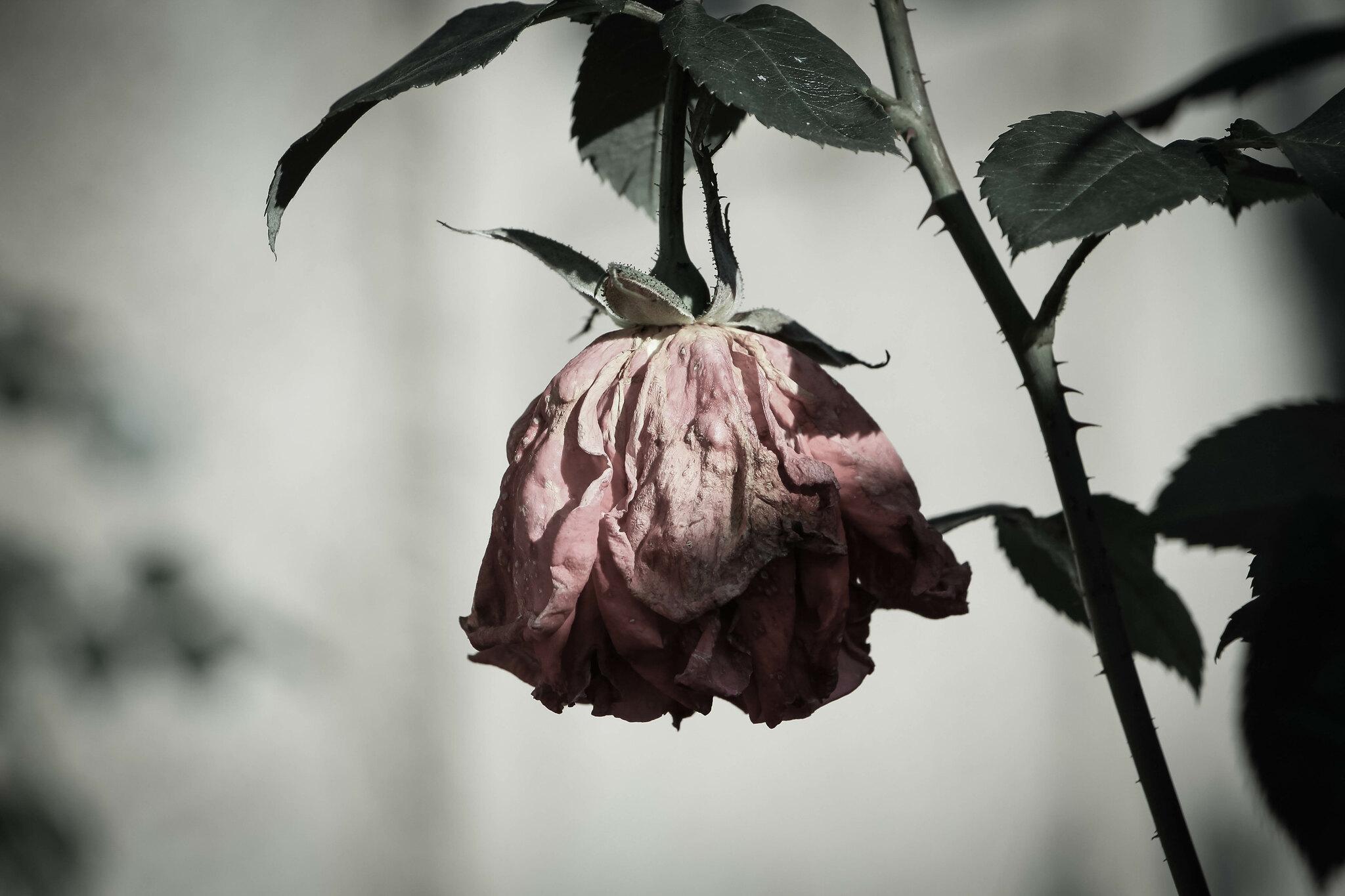 Depressed rose
