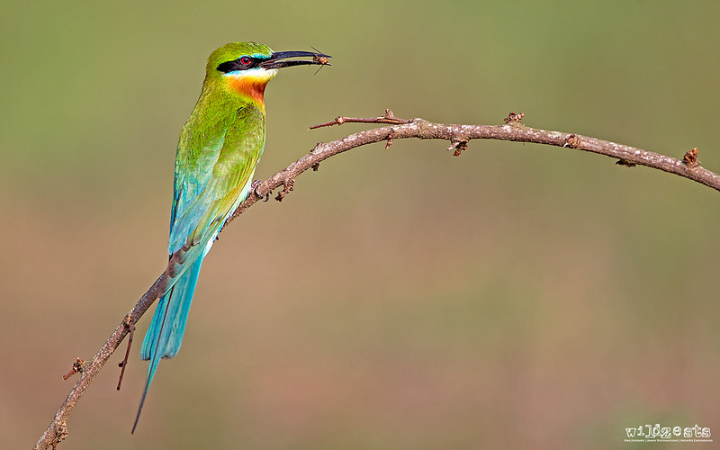 Blue Tailed Bee Eater With A Catch