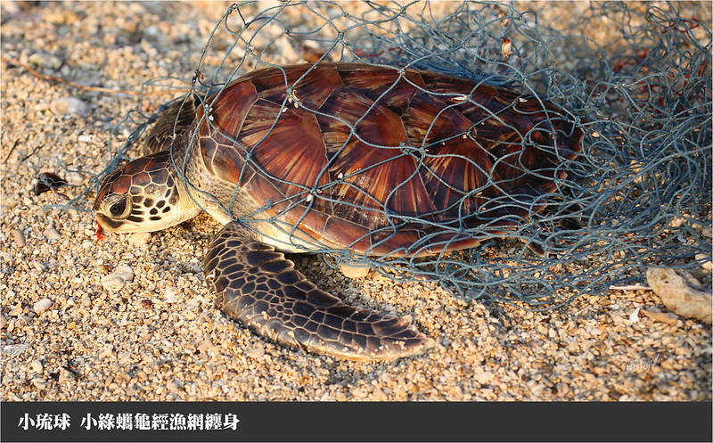 小琉球小綠蠵龜經漁網纏身
