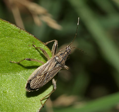 Grey Damsel Bug - Himacerus major