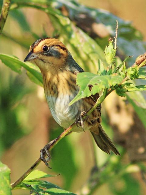 Nelson's Sparrow 08-20140929