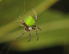 Gorgeous green orbweaver
