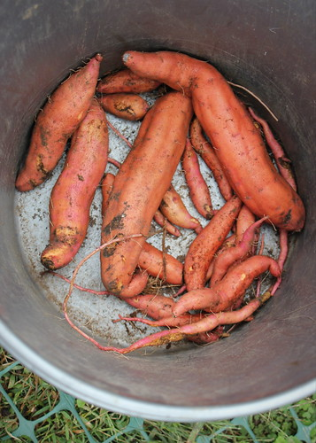 20141004. Sweet potatoes... And this is all we got, folks.