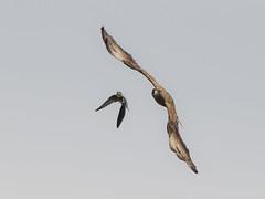 Aves De Rapiña  O Carroñeras