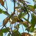 Tropical Parula - 2