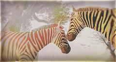 Devin Zebra
