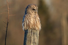 Dear Little Barred Owl