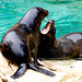 Brown Fur Seal of Yokohama Zoological Gardens : ミナミアフリカオットセイ(よこはま動物園ズーラシア)