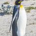 Königspinguin Kingpenguin