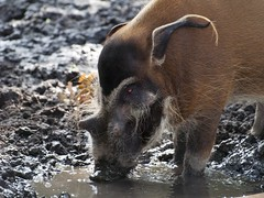 River Hog Eating in The Mud