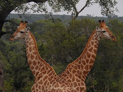 Giraffe With Two Heads