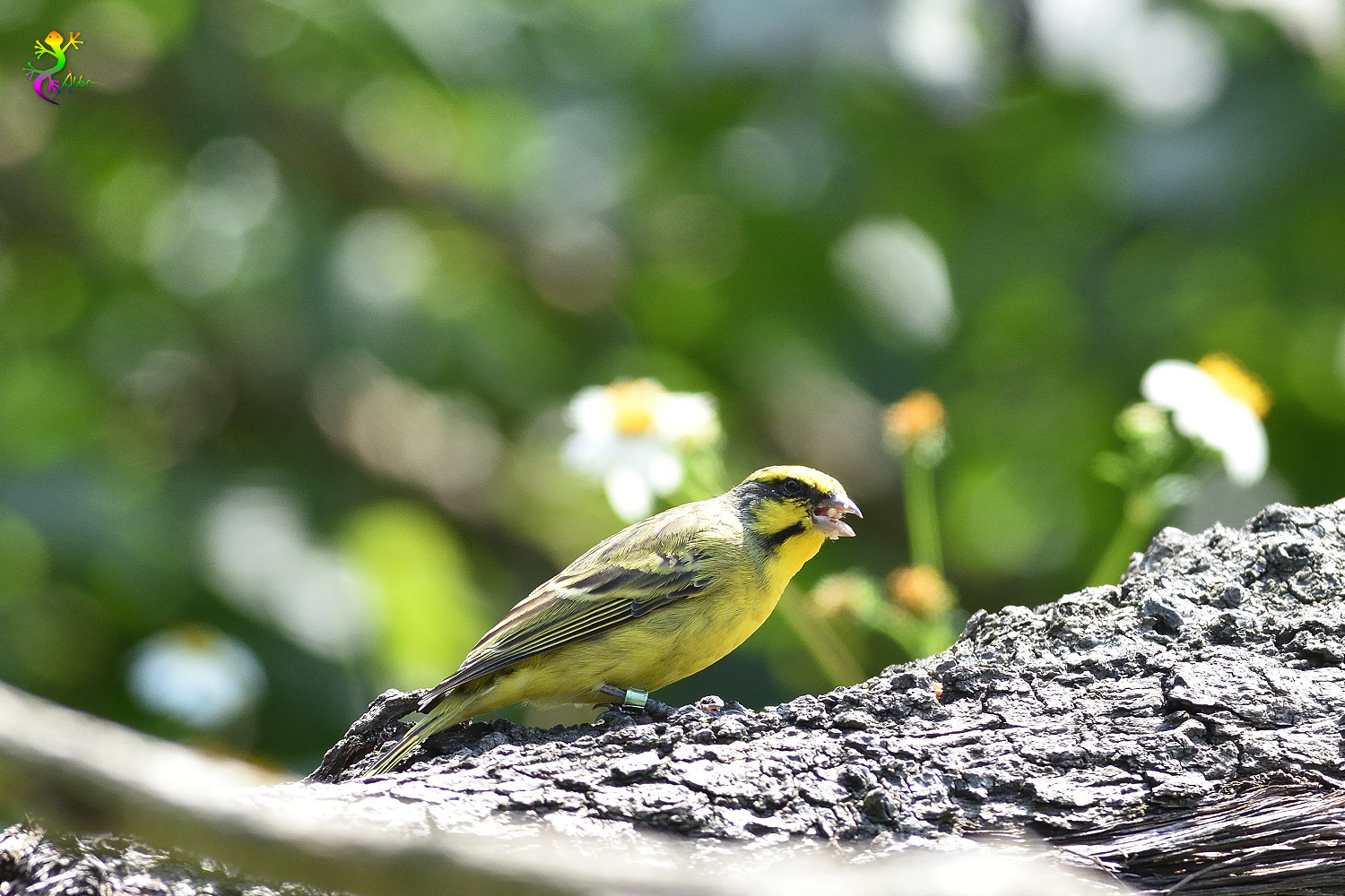 Yellow-fronted_Canary_8226