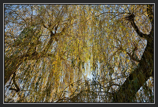 30.11.16 Golden Willow..