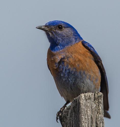 westernbluebird bluebird sialiamexicana sialia turdidae nigelje beaverlakeroad lakecountrybc