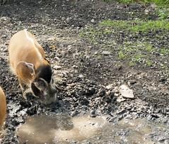 River Hog Enjoying to Play The Mud