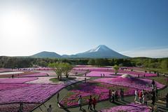 富士芝桜まつり会場全景