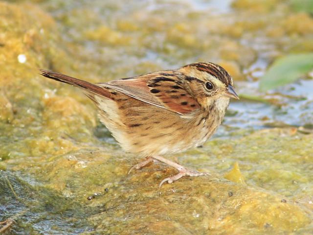 Swamp Sparrow 04-20140929