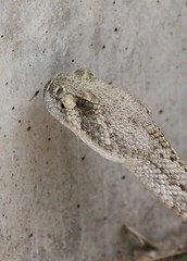 Diamond-back Rattlesnake Tongue In