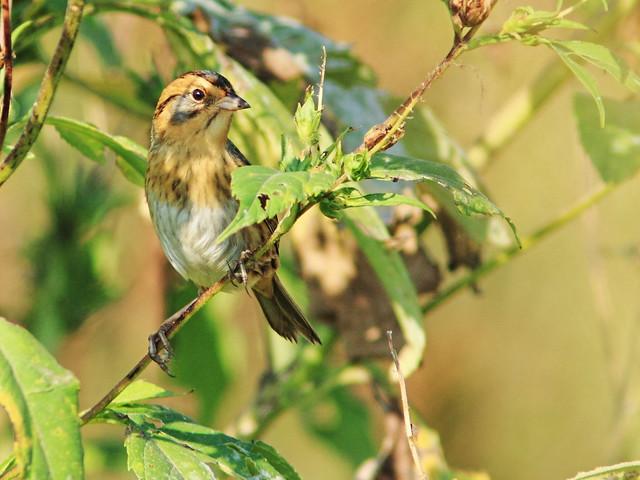 Nelson's Sparrow 09-20140929