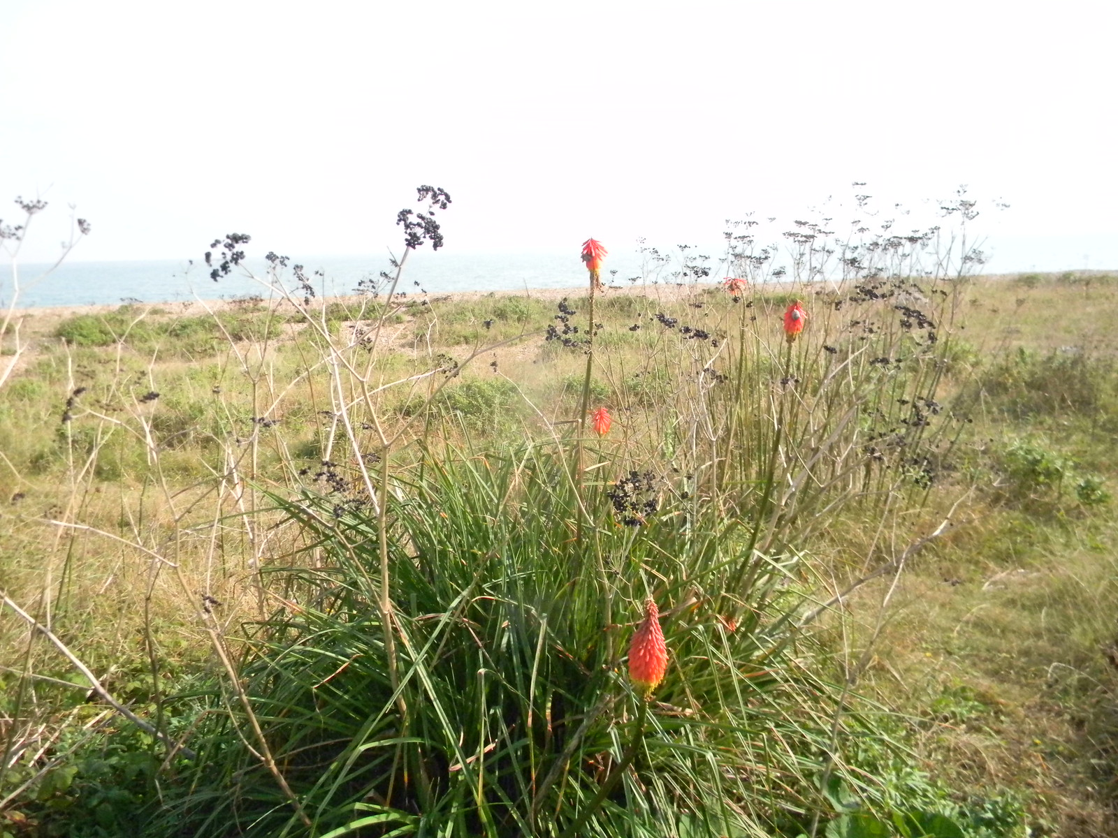 Kniphofia Deal to Dover