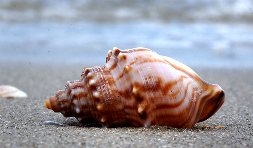 Whelk.A day on the beach.