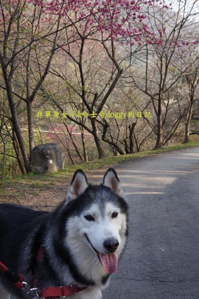 萬大水庫發電廠台電宿舍櫻花19