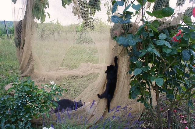 vineyard-cats-tuscany-cr-brian-dore