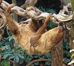 sloth, branch, zoo, wood, fauna, wildlife,
