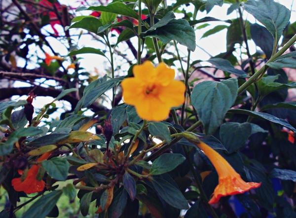 primavera, flores, laranjas