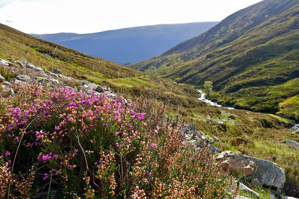 Heather above the Allt Glas-Dhoire