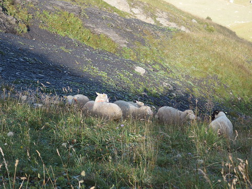 Sheep @ Hike to Mont Charvin