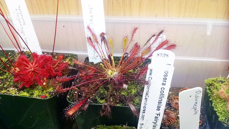Drosera anglica CA x HI with strange growth.