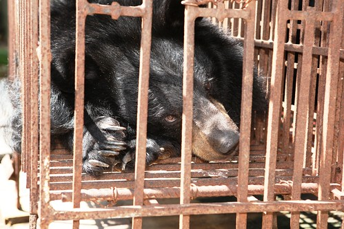 Bears languish on a bear bile farm in Vietnam's Quang Ninh province, 2014 (5)