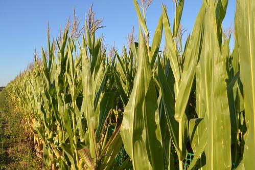 Corn Maze Ny Long Island